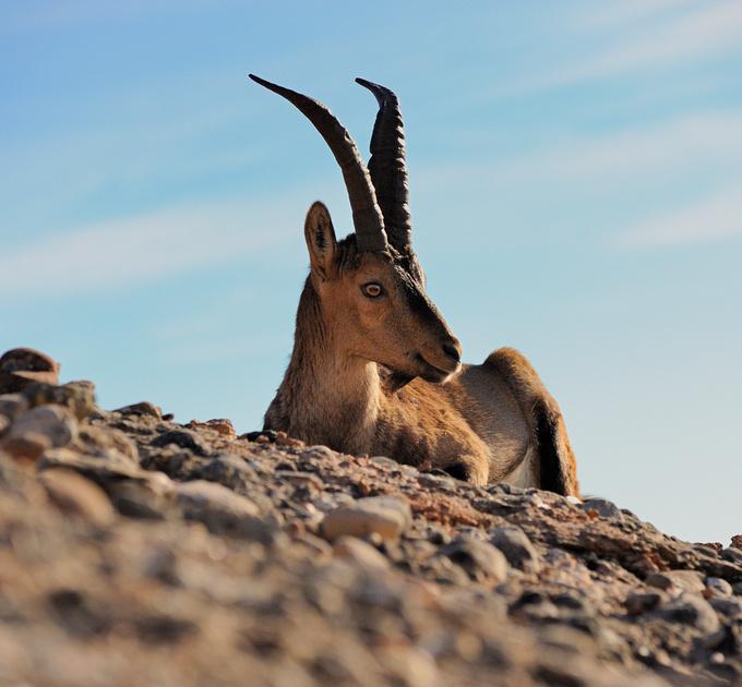 Cabra de muntanya a Montserrat :: Cabra montesa en la montaña de Montserrat :: Mountain goat in Montserrat
